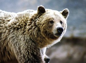 Eine Grizzly-Dame attackierte 7 Jugendliche in Alaska