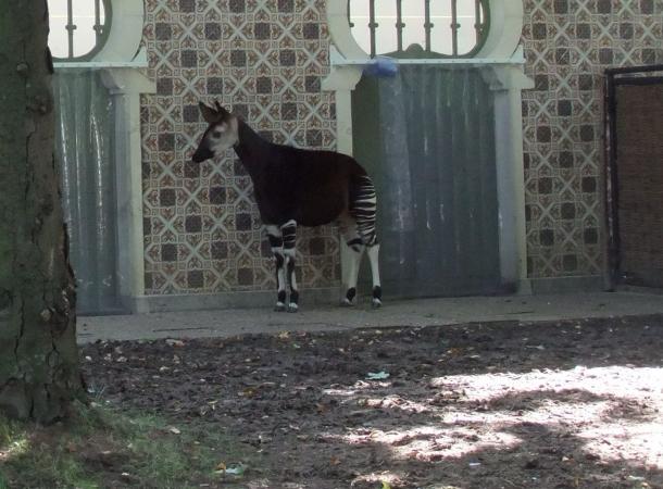 Belgischer Zoo freut sich über Okapi-Nachwuchs