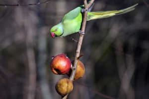 Betrunkene Lori-Papageien aus Darwin fallen vom Himmel