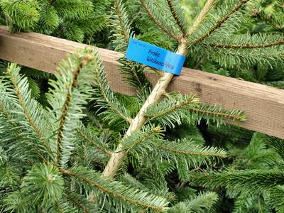 Hartz-IV-Bezieher erhalten kein Geld für den Kauf eines Weihnachtsbaumes